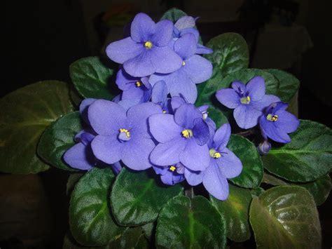 imagenes de flores llamadas violetas mil pudriqueiras 174 flores violetas e quaresmeira