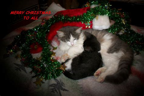 merry cats  merry christmas wishes ecards greeting cards
