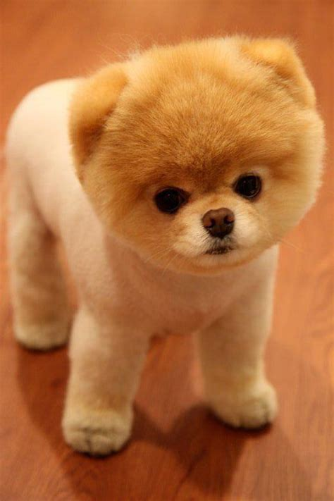 pictures of teddy dogs teddy breed pictures pet photos gallery ngx3ng6bjz