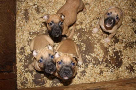 eli pitbull puppies for sale show improve kennels american pit bull terrier breeder baltimore