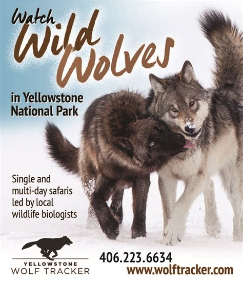 yellowstone 183 national parks conservation association yellowstone wolf tracker gardiner montana