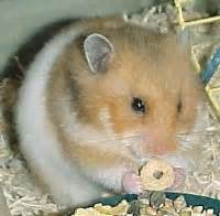 syrian hamster colors same as above with white the back and around the belly