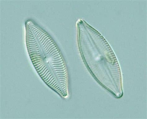 Protist Images: Pennales: Raphidineae: Navicula salinarum X 23