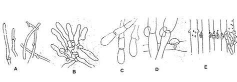 candelabro favicon microscopia de setas las hifas