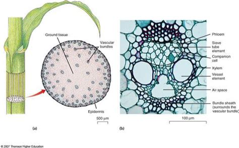 Corn Stem Cross Section by Corn Stem Cross Section Images Frompo