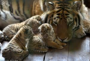 baby tiger with big tiger with images zoo debut tiger cubs with beautiful images