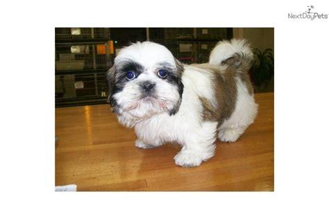 Shih Poo Shedding by Meet Benny A Shih Poo Shihpoo Puppy For Sale For