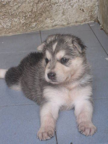 pomeranian husky mix for adoption pomeranian husky mix puppies for sale missouri jobspapa wallpaperjpg breeds picture
