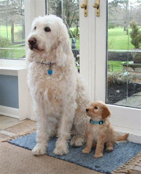 mini goldendoodles health issues goldendoodle and labradoodle puppies from yesteryear acres