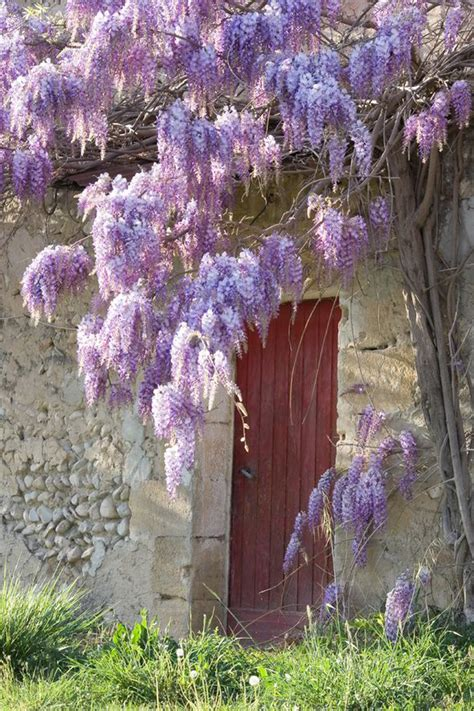 28 best can you take cuttings from wisteria growing and training wisteria beautiful wisteria