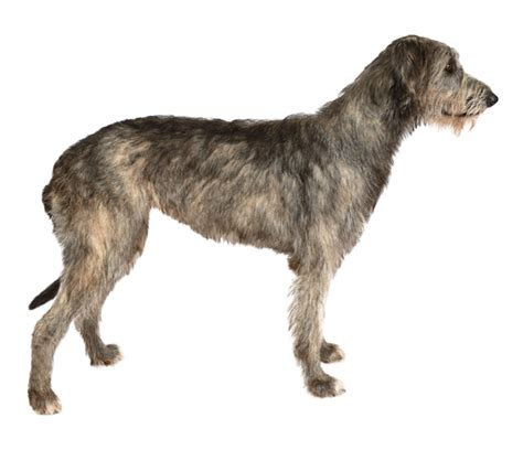 Wolfhound Shedding by Wolfhound Breed Health History Appearance
