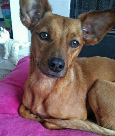 dachshund mix puppies dachshund lab mix info breeds picture