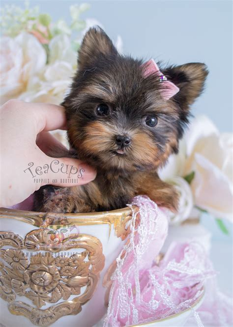 teacup yorkie puppies for sale teacup puppies by breed yorkies chihuahuas pomeranians