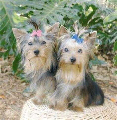 yorkie hair growth herbs vitamins for hair growth in dogs lovetoknow
