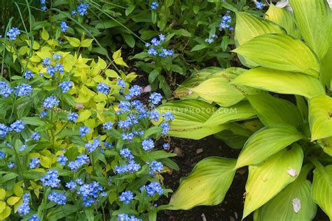 blue flowers picture tiny flowers in bloom light colored blue forget me nots with yellow hosta kolkwitzia plant
