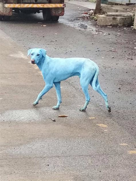 blue dogs india polluted river turns stray dogs blue in india society s child sott net