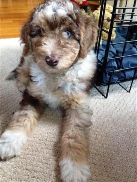 mini aussiedoodle rescue 25 best ideas about australian shepherd poodle mix on