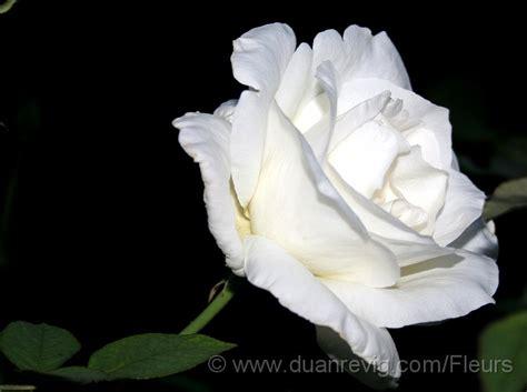 libro rosa blanca rose blanche fleurs arbustes rose blanche rosa