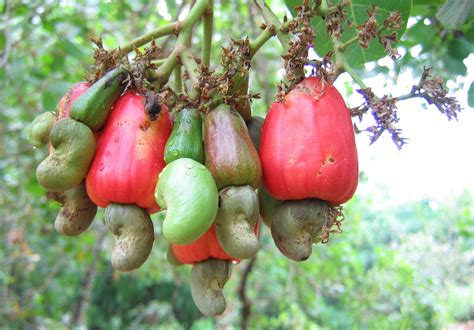 cashew nut fruit tree litany of thanks 10 things to give thanks for in a place