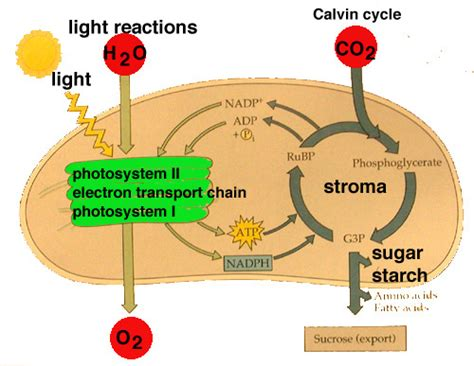 What Are The Products Of Light Dependent Reactions by Untitled Document Academic Cuny Edu