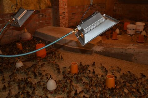 infrared heat ls for chickens chicken poultry farming equipment infrared poultry heater