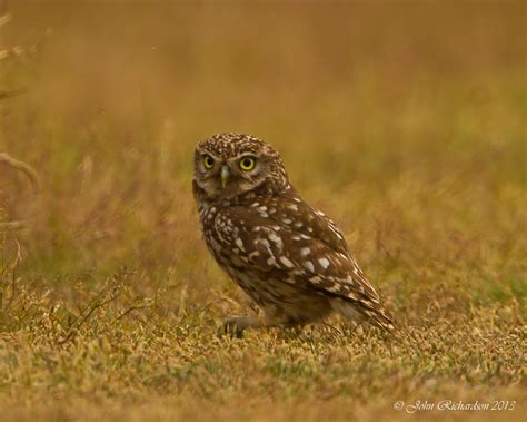Lq 18 Cp Owl of minsmere aka richardson owl weekend