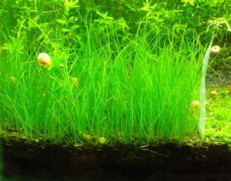 design aquascape untuk pemula tanaman aquascape untuk pemula yang mudah perawatannya