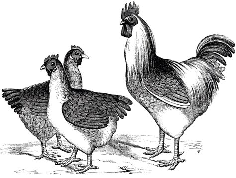 Free Vintage Chicken Graphics   The Graphics Fairy