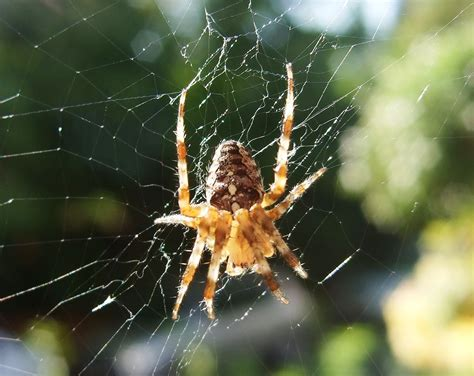 Garden Spider Uk Wiki Araneus Diadematus Wikimedia Commons