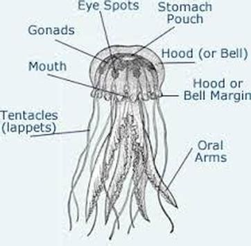 diagram of jelly fish jellyfish phylum digestive system