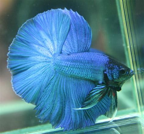 Ikan Cupang Crowntail Royal Blue betta colour patterns live tropical fish
