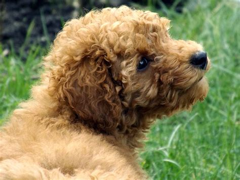 poodle breed poodle breed information pictures characteristics facts dogtime