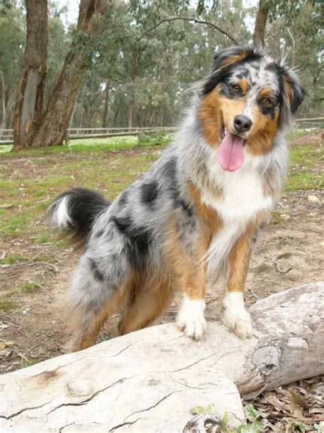 bernese mountain australian shepherd mix 25 best ideas about mixes on puppy breeds