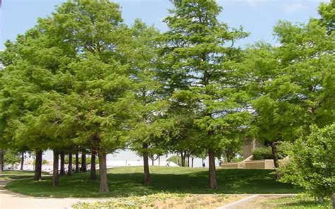 Garden Center Fort Myers Cypress Tree For Sale Fort Myers