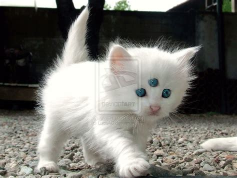 Inidia Cat 44 a white kitten with three things with three