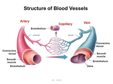 diagram of the blood vessels labelled diagram of and blood vessels choice image