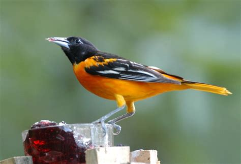 best 25 baltimore orioles birds ideas on pinterest