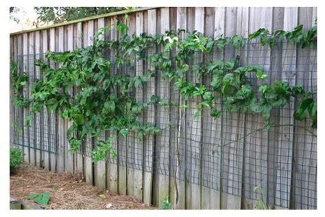 grow passionfruit  veggie lady passionfruit