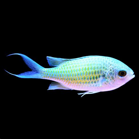 green chromis petco