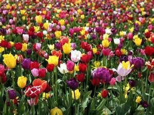 Tulip Flower Garden Tulips Mangotangerine