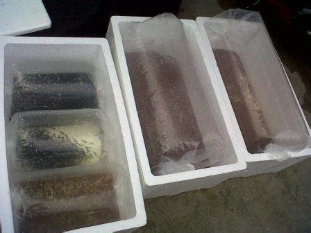 Bibit Nila Monosex jual bibit ikan nila murah dengan garansi