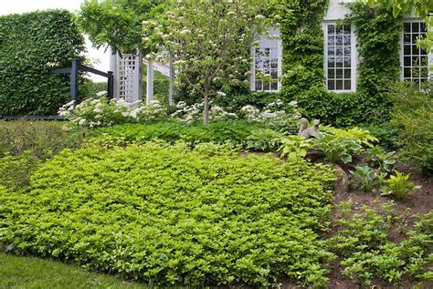 popular landscaping groundcovers and shrubs pachysandra shade loving ground cover glorious