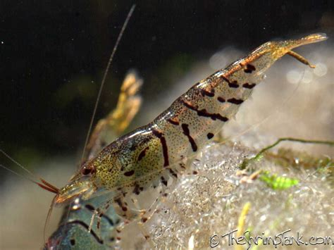 tiger shrimp information aquatic mag