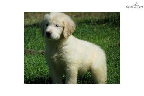 golden retriever light golden golden retriever puppy for sale near boston massachusetts da3d9083 2d71