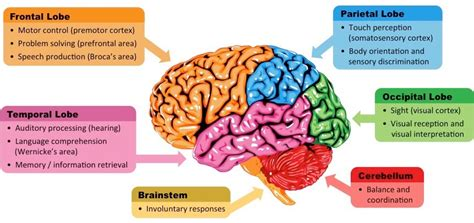 Sections Of The Brain And What They by Brain Sections Bioninja