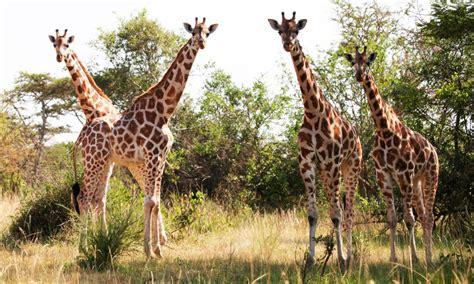 imagenes de jirafas comiendo hojas jirafa de rothschild caracter 237 sticas qu 233 come d 243 nde vive
