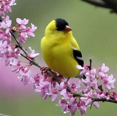 yellow finches spring pinterest
