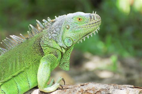 iguana cull surpasses  cayman compass