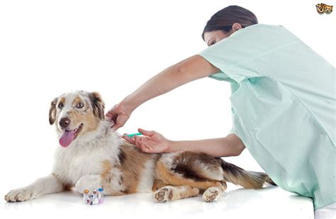 vaccines for dogs imgs for gt vaccination