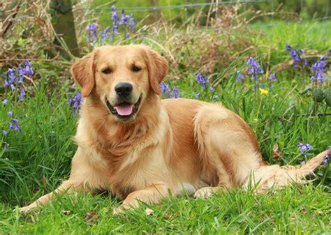 do golden retrievers bark much the 15 quietest breeds